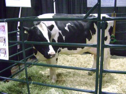 dairy_cow