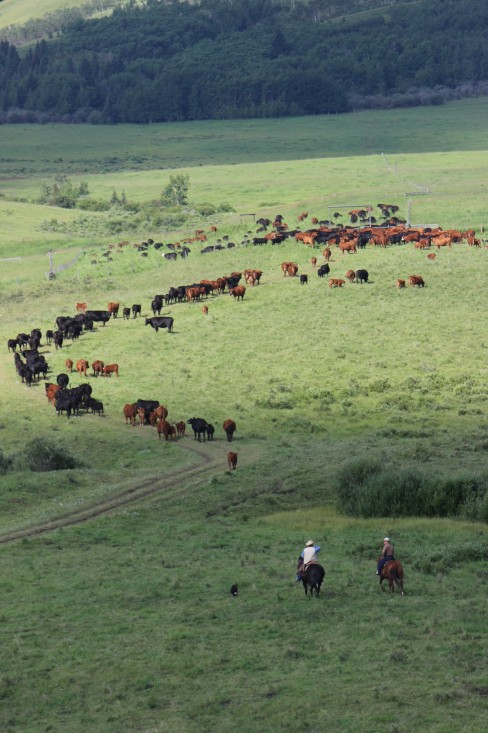 Moving cows to North wean pasture