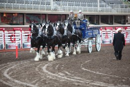 Josh Minshull holding the lines during the 2013 Calgary Stampede World Champion Six Horse Hitch