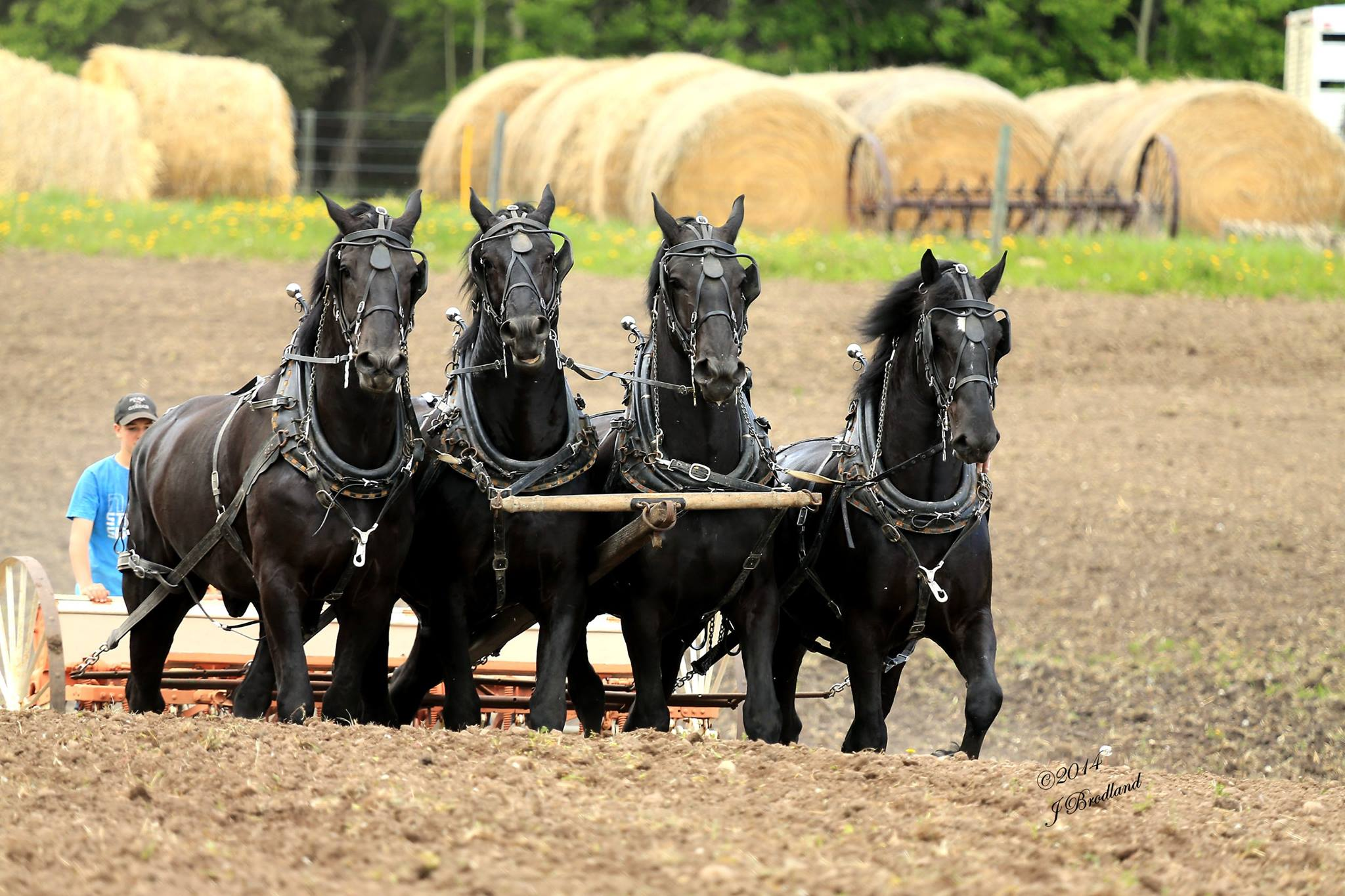 Draft Horse Training Camp What Does It Take To Get A Six Horse Hitch Ready For The Calgary Stampede Blog