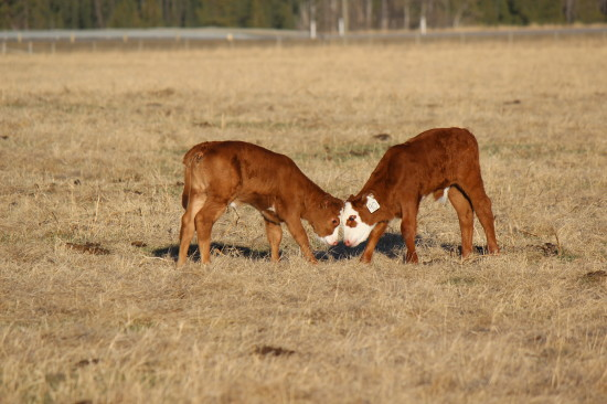 Calves twins means there's always someone to play with!