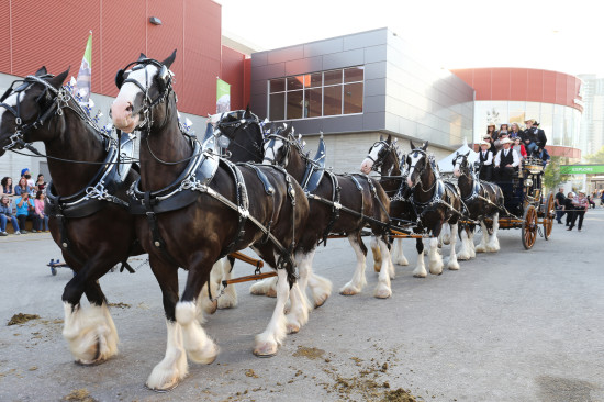 The Express Hitch is sure to impress - Photo Credit: Kyle Clapham / Calgary Stampede
