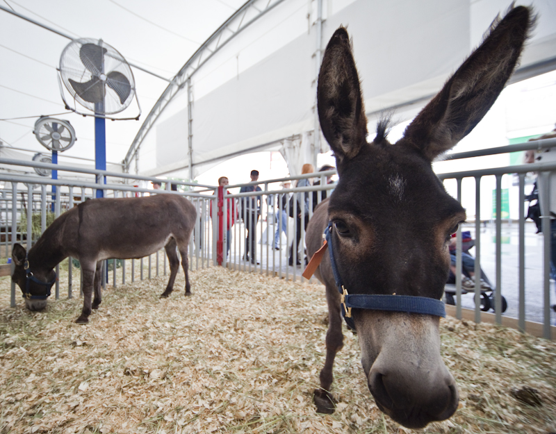 Your Chance To Meet The Littlest Donkey On Stampede Park