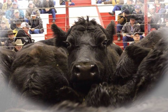 foothills_auctioneers_cattle