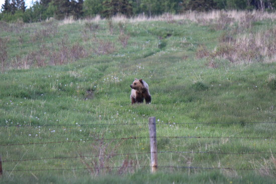 It's not unusual to spot a Grizzly Bear roaming OH land