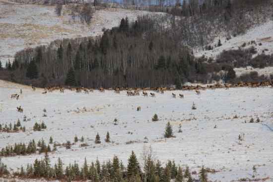 Large herds of Elk are a common sight