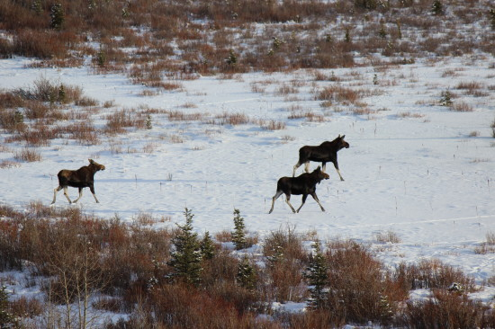 Moose forage for food along Ings Creek