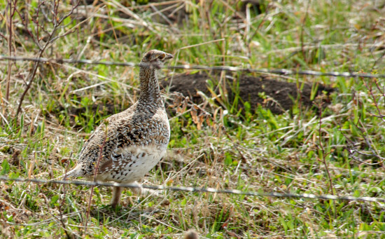 A Sharp Tailed Grouse making its home in the pasture