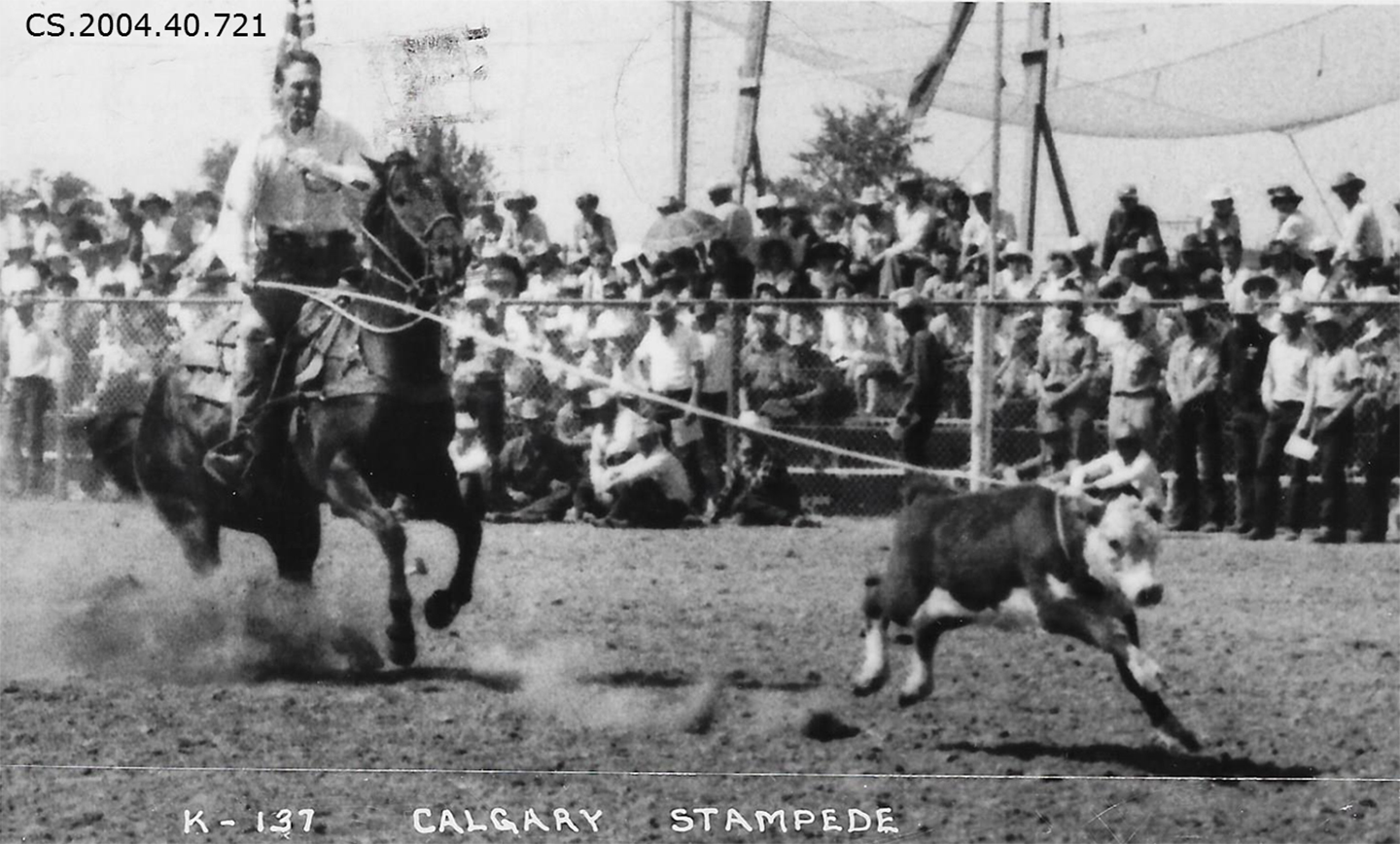 Calf Caught In Calf Roping Competition By A Cowboy